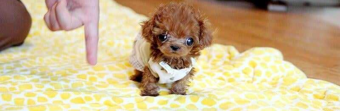 Teacup Poodle Puppies Cover Image
